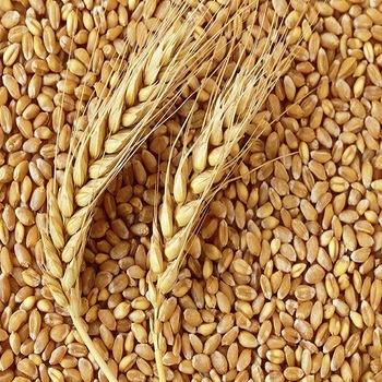 ข้าวสาลี (Bead Wheat)
